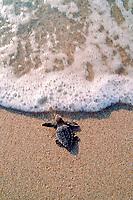 loggerhead sea turtle, Caretta caretta, hatchling, crawling across nesting beach toward ocean, Juno Beach, Florida, USA, Atlantic Ocean
