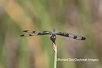 06580-00208 Banded Pennant (Celithemis fasciata) male Washinton Co. MO