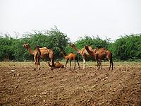 Camel herd in deserted land in village