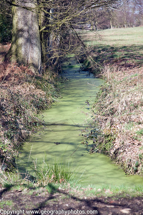 Pond weed algae growing on water surface in drainage ditch causing eutrophication