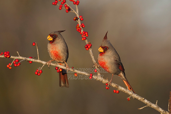 Pyrrhuloxia (Cardinalis sinuatus), males eating Possum Haw Holly (Ilex decidua) berries, Starr County, Rio Grande Valley, South Texas, USA