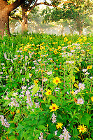 A display of wildflowers on a restored oak savannah in Shakopee, Minnesota. The site is a Native American burial ground comprised of numerous burial mounds dating back more than 2,000 years. They are believed to be from the Mdewakanton Sioux (Dakota) Community.