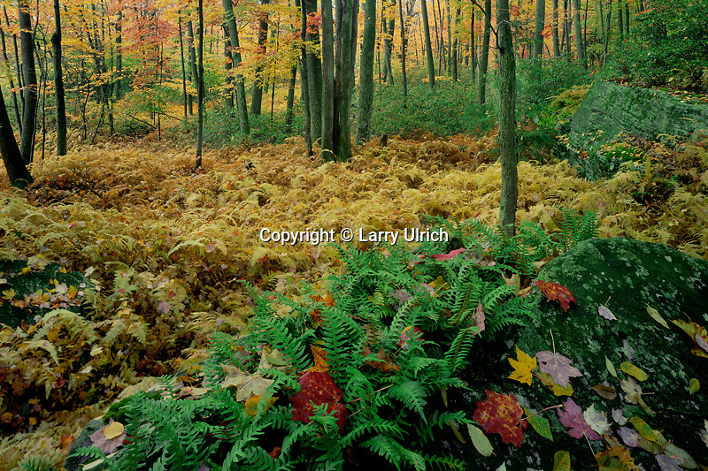 Common polypody ferns<br />