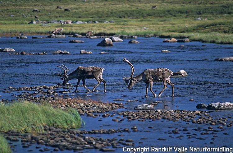 Canadisk villrein krysser elv --- Caribou crossing river --- Rangifer tarandus groenlandichus