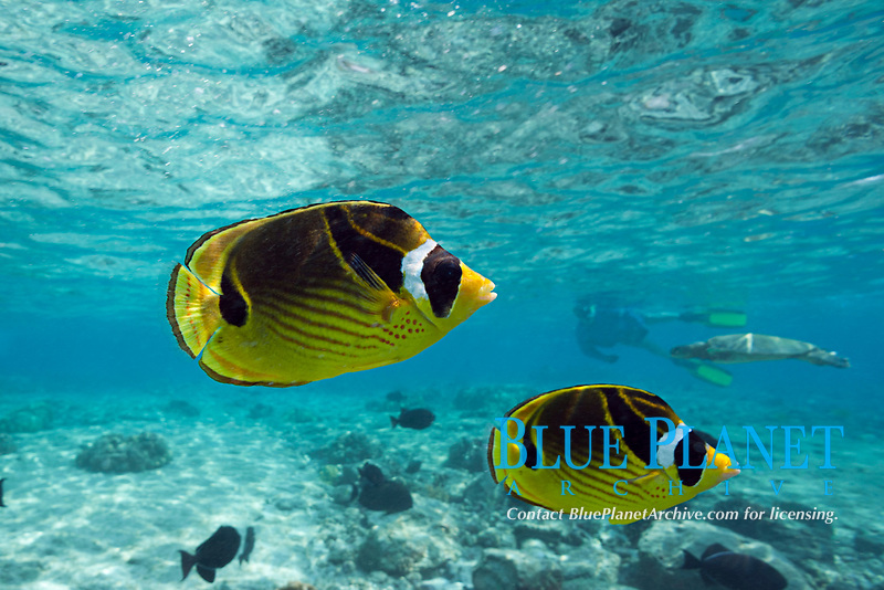 raccoon butterflyfish, racoon butterflyfish, Chaetodon lunula, Kahaluu Beach Park, Keauhou, Big Island, Hawaii, USA, Pacific Ocean