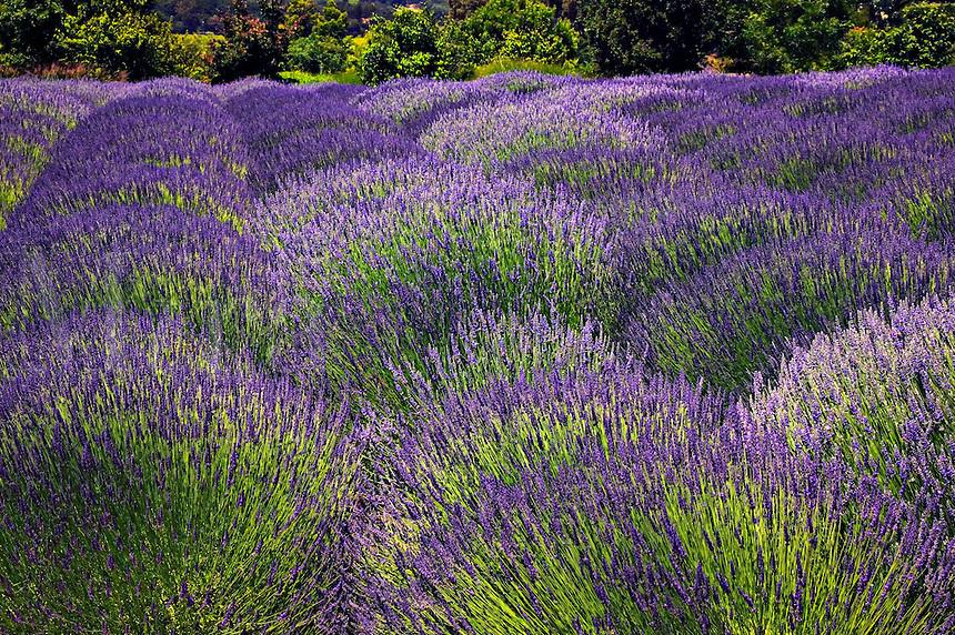 Lavender filed, Sonoma, California, USA