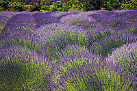 Lavender filed, Sonoma, California, USA