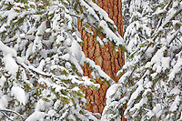 Snow with ponderosa pine tree. Elkhorn Drive National Scenic Byway. Oregon