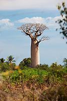 A Baobab tree standing tall amongst foliage near Morondava, Madagascar