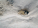 Crab in hole in sand on the beach in Mexico
