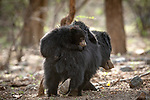 Pictured: A pair of bear cubs carefully hitch a ride on their mother's back.   The two-month old cubs gently clutch onto their mother as she strolls through the forest.<br /> <br /> Wildlife photographer Shivang Mehta spotted the sloth bears at Ranthambore National Park, Rajasthan, India.   He was on the lookout for the northern Indian park's famous tigers when he suddenly locked eyes on the trio of bears instead.   SEE OUR COPY FOR DETAILS<br /> <br /> Please byline: Shivang Mehta/Solent News<br /> <br /> © Shivang Mehta/Solent News & Photo Agency<br /> UK +44 (0) 2380 458800