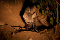 Aardwolf (Proteles cristata)..Too young to join it's parents on their nightly foraging trip, this pup stayed behind at the den. Situated in between Mopani trees it was inspecting it's direct surroundings..Tuli Block, Botswana.