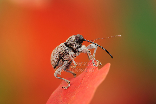 Acorn weevil, perched on Bigtooth Maple (Acer grandidentatum), Lost Maples State Park, Hill Country, Central Texas, USA
