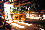 A farmer brings tobacco leaves into a shed to dry .