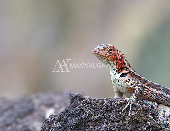 Lava lizards are common throughout the islands.  Unlike most animals, the females are actually more colorful than the males, often sporting a bright orange head.