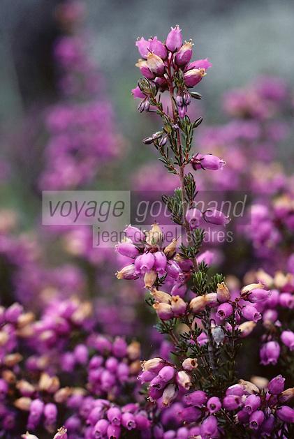 Europe/France/Limousin/23/Creuse/Env Royère-de-Vassivière: Bruyères en fleurs