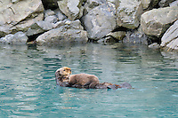 Alaskan or Northern Sea Otter (Enhydra lutris) mom holding young pup