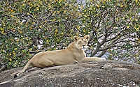Lioness (Panthera leo) on top of a large boulder, Northern Serengeti