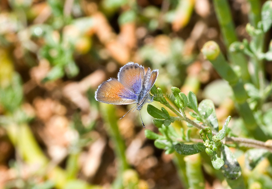 Pickle weed & Western Pygmy Blue Butterfly (Brephidium exile)