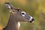 Close up of a young white-tailed buck.