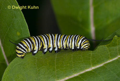 MO02-505z  Monarch Caterpillar on Milkweed - Danaus plexipuss