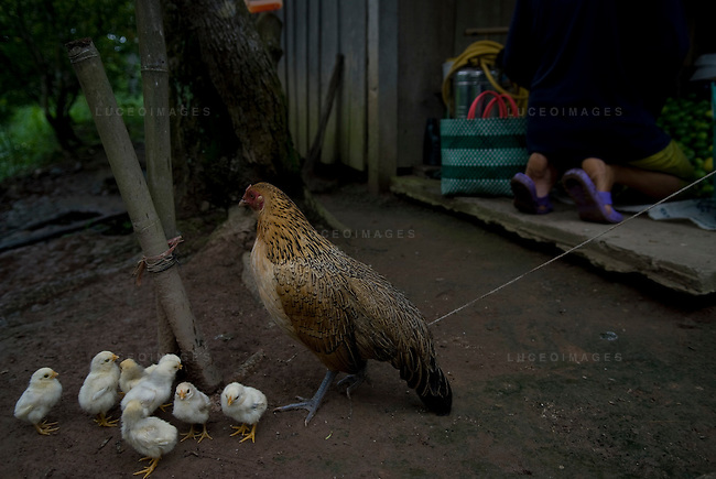 A chicken and it's chicks are tied up in a village outside of Can Tho, Vietnam.