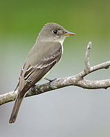 Least Flycatcher, South Padre Island, TX