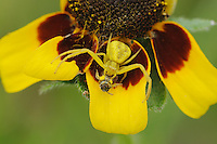Crab Spider (Misumena vatia), adult with prey, Fennessey Ranch, Refugio, Corpus Christi, Coastal Bend, Texas Coast, USA