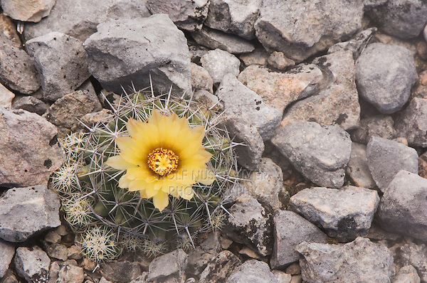 Sea Urchin Cactus, Coryphantha echinus, blooming, Uvalde County, Hill Country, Texas, USA, April 2006