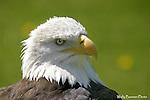 Eagle, bald eagle, haliaeetus leucocephalus,