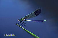1O02-031z  River Jewelwing Damselfly - adult male - Calopteryx aequabilis