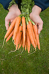 Looking down on bunch of fresh carrots held in palm of two hands