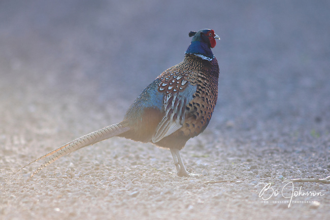 A male pheasant (phasianus colchicum) on his daily morning inspection tour.<br />