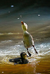 Little duckling leaps to catch a fly by John Scamell