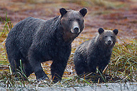 Grizzly Sow and Cub watch through a driving rain