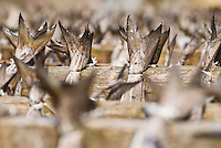 tails of cod Stockfish hanging to dry on wooden racks, Lofoten, Norway