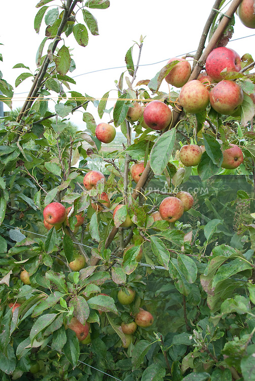 Apples growing ripe, Falstaff variety