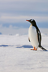 Gentoo Penguin on the sea ice with ice bergs in the background.
