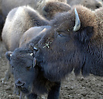 A calf gets a licking from mother amid a herd of North American Bison at the North Quarter Farm in Riverhead in January 2006. Copyright/Jim Peppler 2006