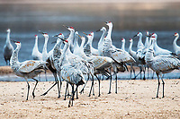 The Sandhill Strut | Helena Island on the Wisconsin River | Aldo Leopold Foundation, Baraboo, Wisconsin | Sandhill cranes strut along Helena Island after landing along the Wisconsin River at the Aldo Leopold Foundation near Baraboo, Wisconsin on Friday, November 25, 2016 | Signature Edition Print by Greg Dixon | Digital Photograph