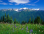 Olympic National Park, WA<br /> Alpine wildflowers on the High Divide ridge overlooking the Ho River Valley and Mount Olympus