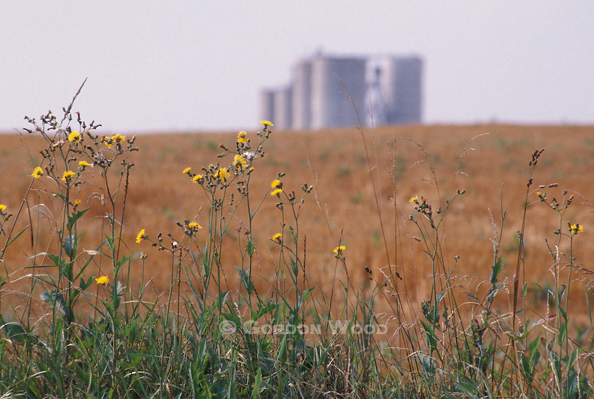 Weeds on the Edge of a Farm Field with Grain Silos in Background