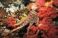 Photo KK-2062. Pacific Giant Octopus (Enteroctopus dofleini)..Photo Copyright © Brandon Cole.  All rights reserved worldwide.  www.brandoncole.com..This photo is NOT free. It is NOT in the public domain...Rights to reproduction of photograph granted only upon payment of invoice in full.  Any use whatsoever prior to such payment will be considered an infringement of copyright...Brandon Cole.Marine Photography.http://www.brandoncole.com.email: brandoncole@msn.com.4917 N. Boeing Rd..Spokane Valley, WA  99206  USA..tel: 509-535-3489.