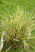 Miscanthus sinensis Gold Bar, striped ornamental grass in yellow and green