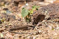 Sonoran Tiger Whiptail, Aspidoscelis tigris punctilinealis, digs a burrow at the Desert Botanical Garden, Phoenix, Arizona