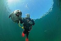 Common Seal, Phoca vitulina vitulina, and scuba diver, Rostock, Warnemuende, Germany, Baltic Sea, MR, PR