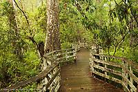 Boardwalk through swamp and Bald Cypress, Audubon Corkscrew Swamp Sanctuary, Florida