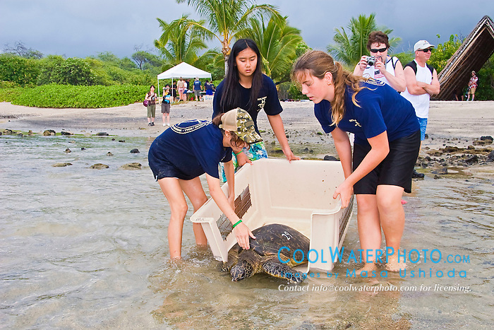 Students from Hawaii Preparatory Academy (HPA) releasing Green Sea Turtle, Chelonia mydas, after the extensive examination and tagging & marking process for the U.S. Marine Turtle Research, organized by researcher George Balazs PhD, NOAA National Marine Fisheries Service (NMFS), HPA students and teachers (NOAA/HPA Marine Turtle Program), and ReefTeach volunteers at Kaloko-Honokohau National Historical Park, Kona Coast, Big Island, Hawaii, Pacific Ocean.