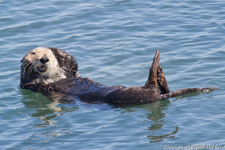 Southern Sea Otter also called California Sea Otter floats on it's back to rest.(Enydra lutris).Elkhorn Slough near Monterey, California