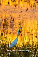 00688-02605 Great Egret (Ardea alba) at sunset Viera Wetlands Brevard County FL